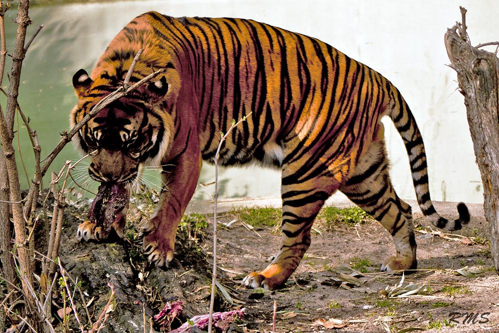 Fressender Tiger