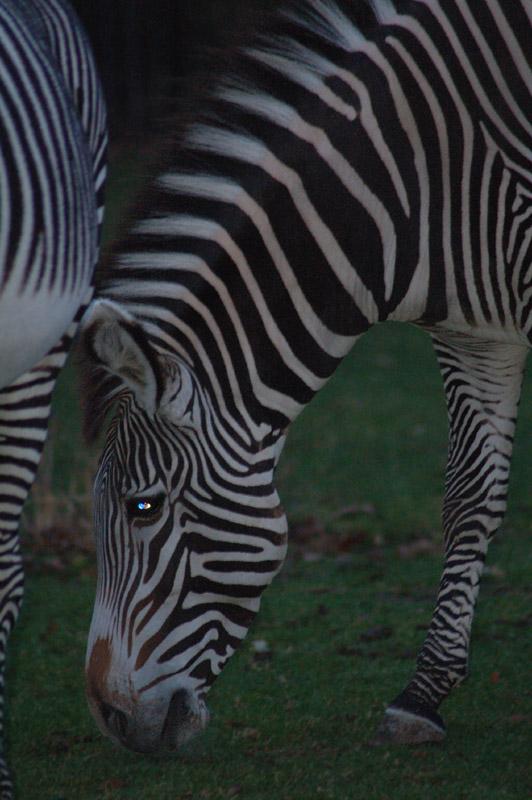 Fressendes Zebra