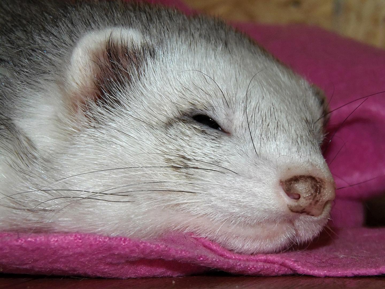 Frettchen im Halbschlaf