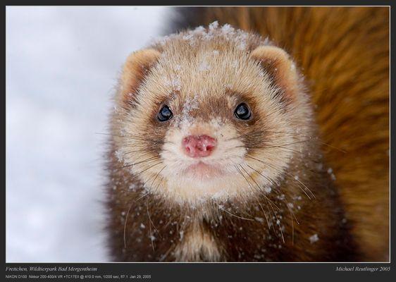 Frettchen im Schnee
