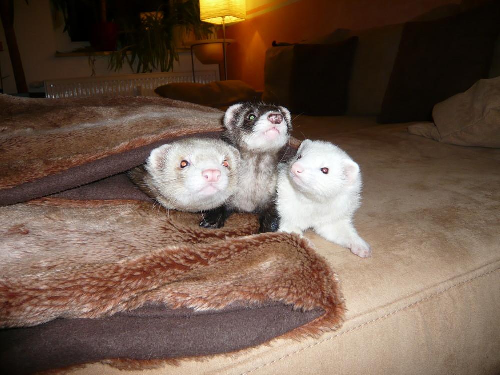 Frettchen Leandro, Misha und Luana