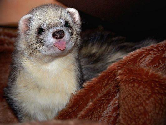 Frettchen Lyras ist wach geworden, schaut, und hat seine Zunge vergessen ^^
