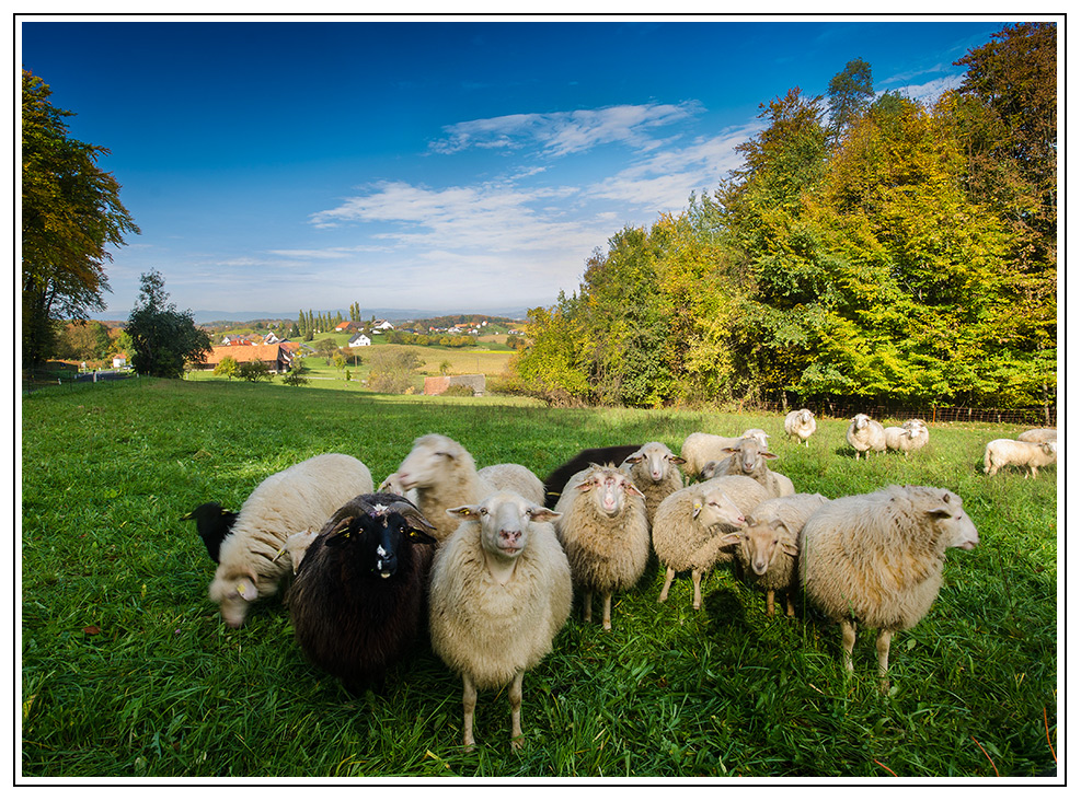 Freundliche Schafe