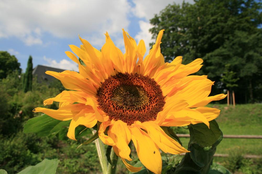 Freundliche Sonnenblume