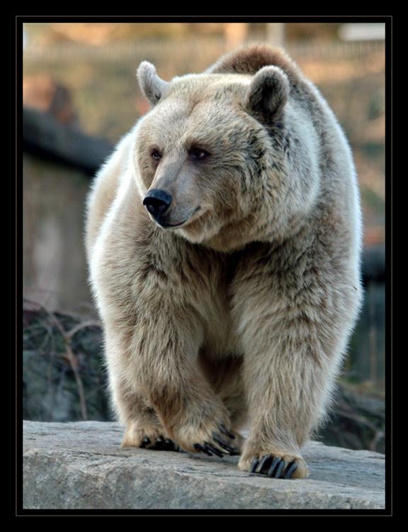 freundlicher Braunbär