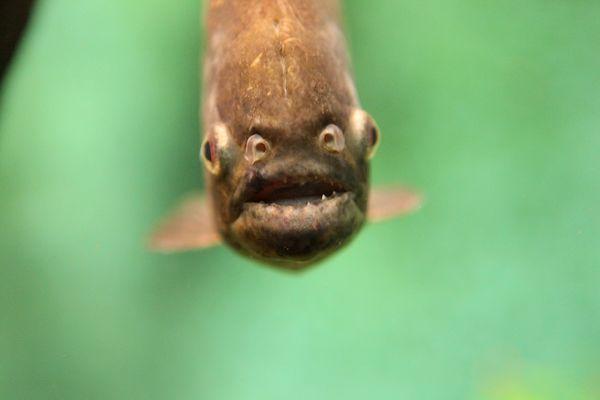Freundlicher Piranha