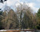 Friedhofsbaum