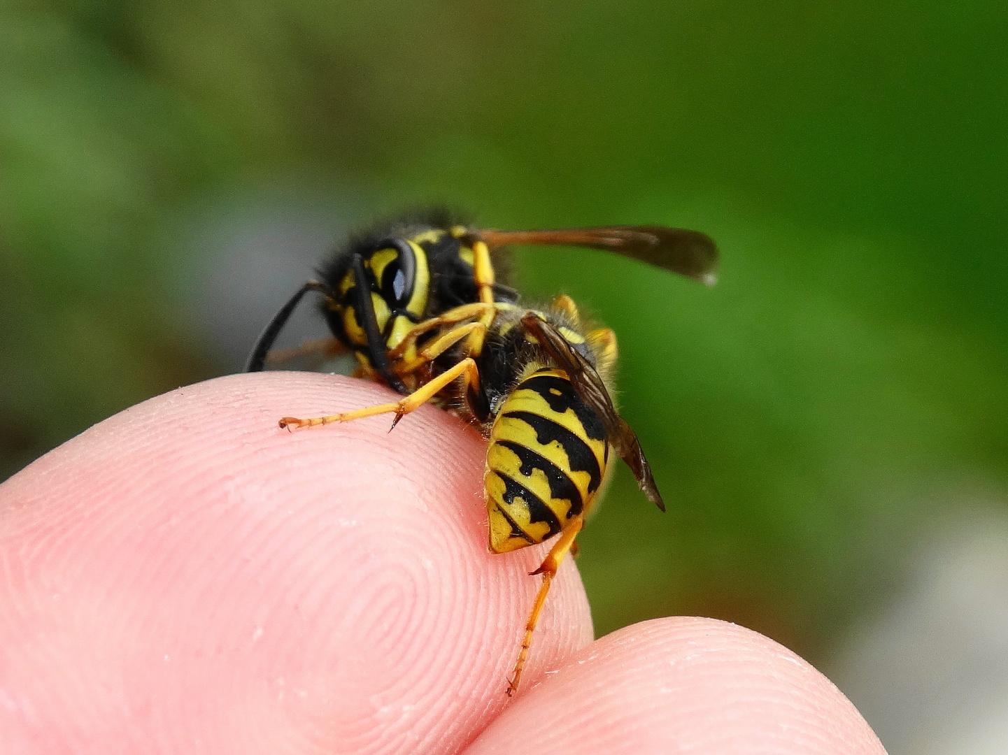Friedliche Wespen !