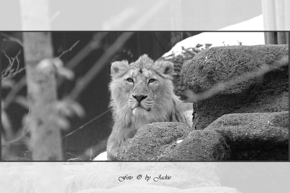 Friedlicher Löwe