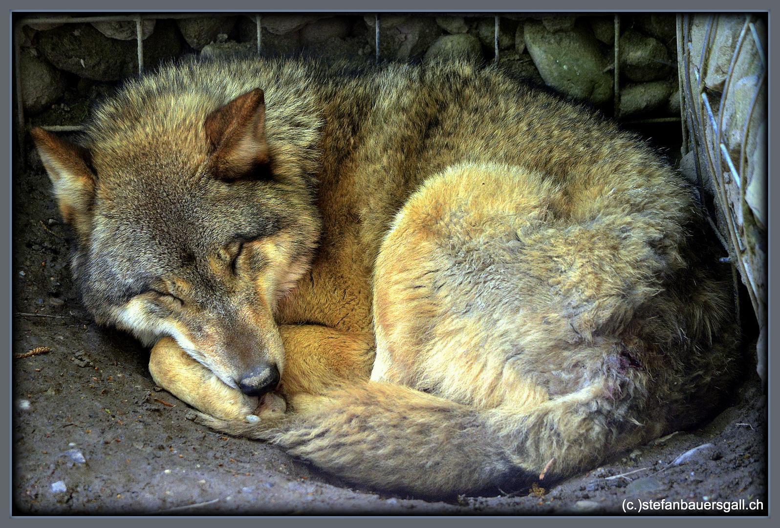 """""""Friedlicher Wolf."""""""