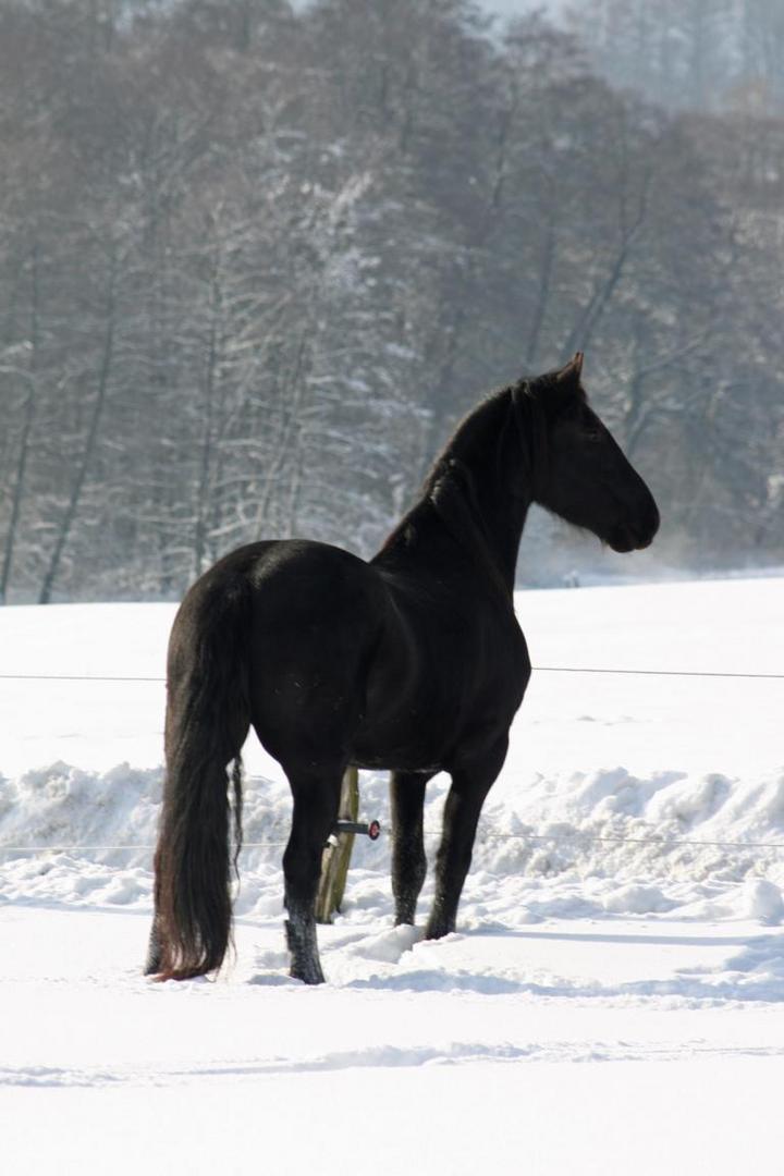 friese im schnee foto bild tiere haustiere pferde. Black Bedroom Furniture Sets. Home Design Ideas