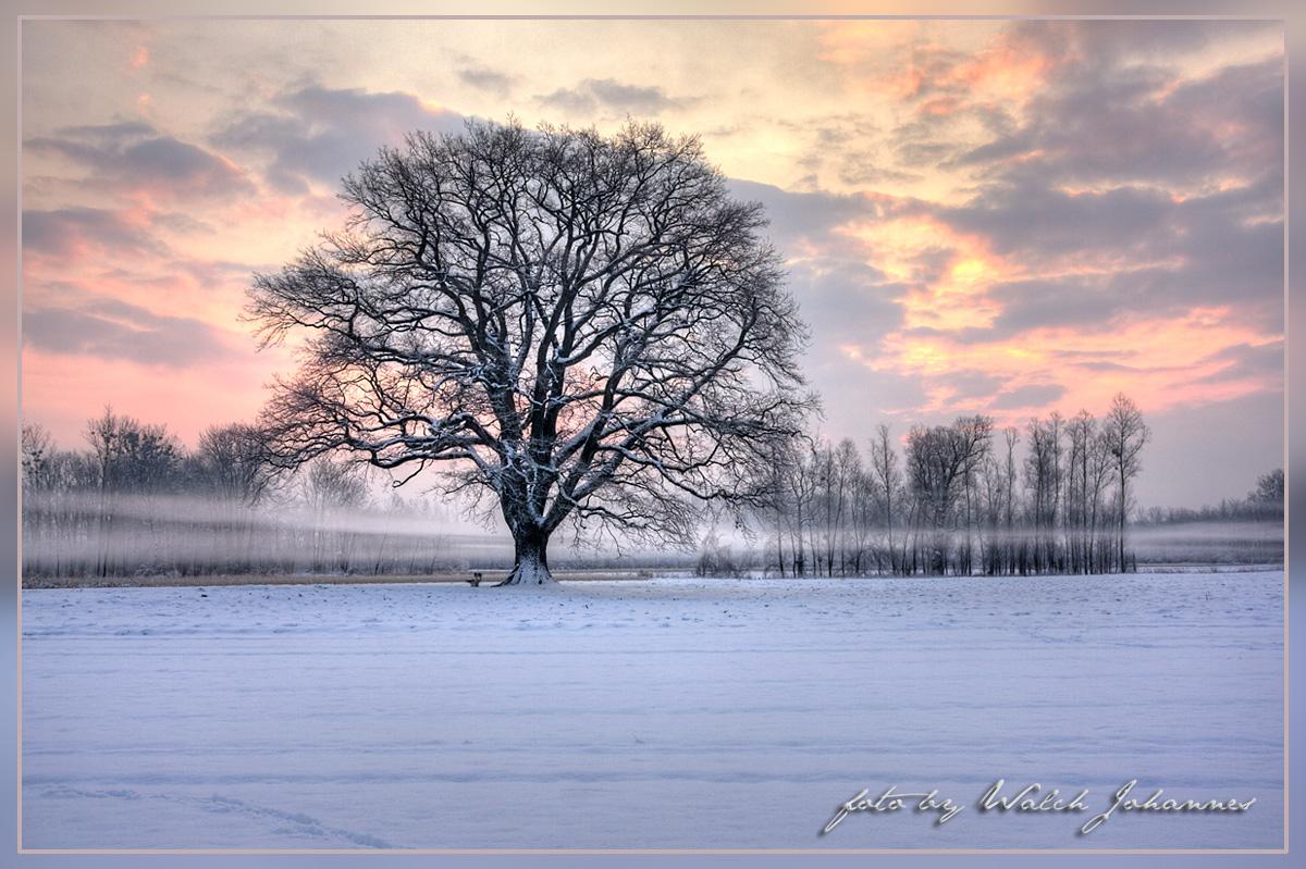 Frieseiche im Winter