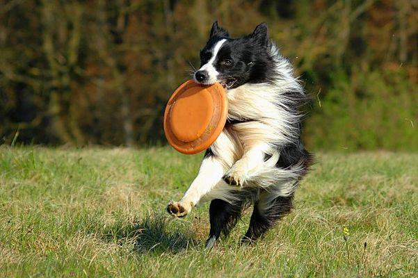 Frisbee spielen mit Border Collie Spike