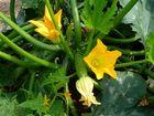 -Frisch aus unserem Garten... Zucchini-