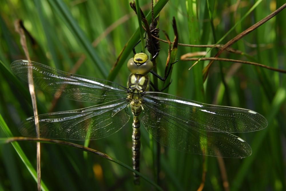 frisch geschlüpfte Libelle