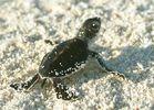 frisch geschlüpfte Schildkröte
