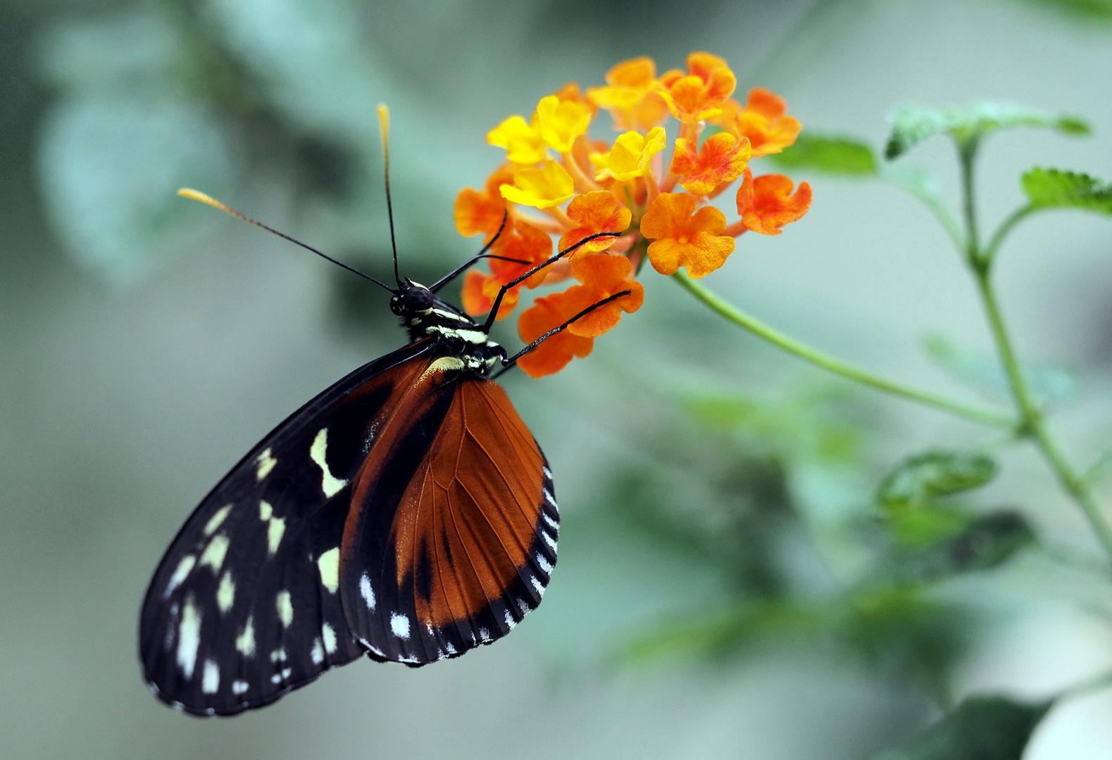 Frisch geschlüpfter Schmetterling im Vivarium in Darmstadt