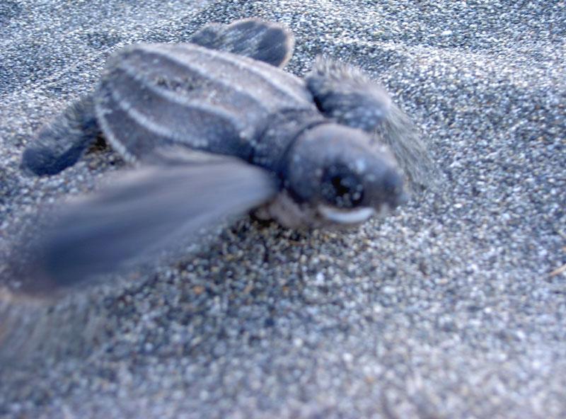 frisch geschlüpte turtle - costa rica - gandoca