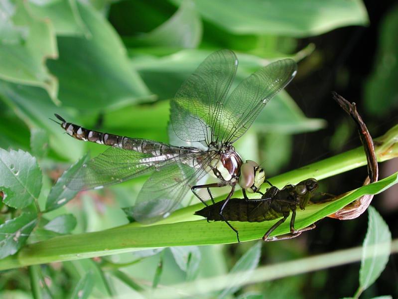 frisch geschlupfte Libelle sitzt noch auf ihrer Larve und trocknet sich ihre Flügel