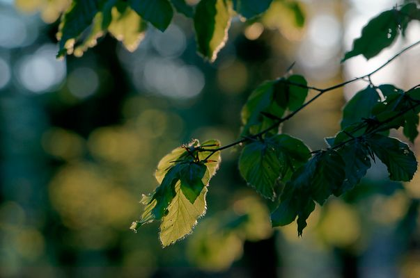 Frische Blätter der Rotbuche