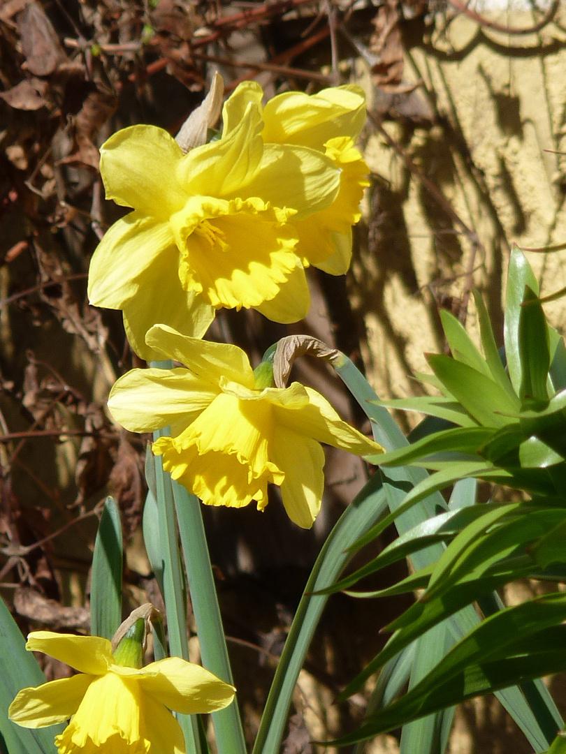 Frische Blüten vor altem Laub
