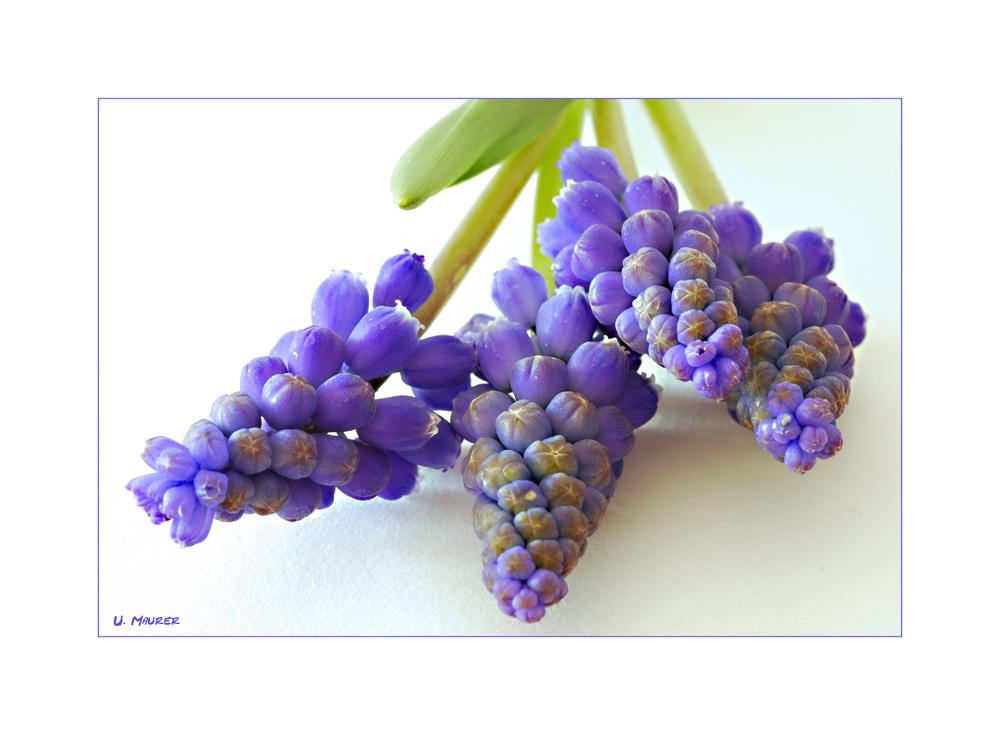 Frische Trauben (hyazynthen)