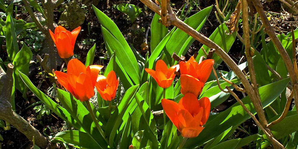 Frische Tulpen zum Ostermontag!