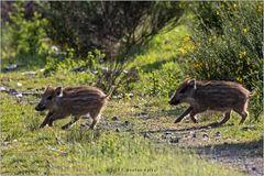 Frischlinge überqueren einen Waldweg