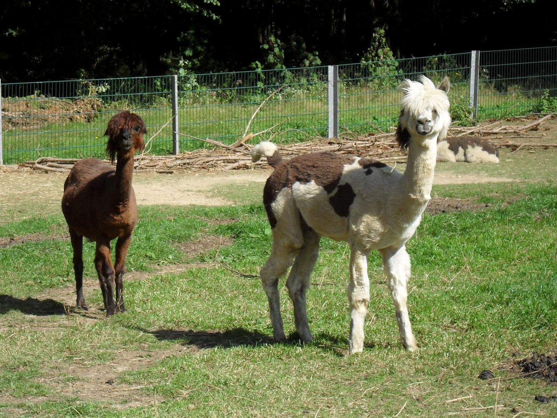 Frisur bei Lamas