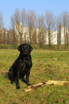 Fritz - mein Labrador