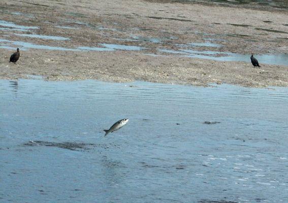 Fröhlich wie ein Fisch  ( im ) Wasser