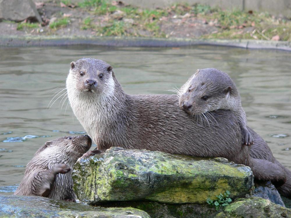 Fröhliche Otter
