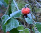 fröstelnde Hagebutte