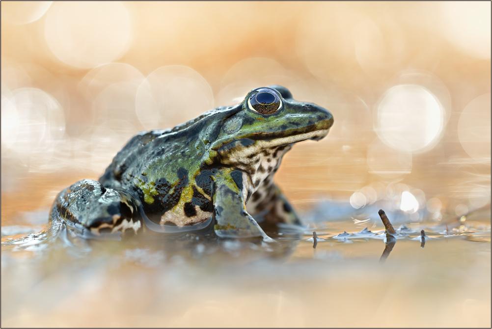 ~ Frog ~