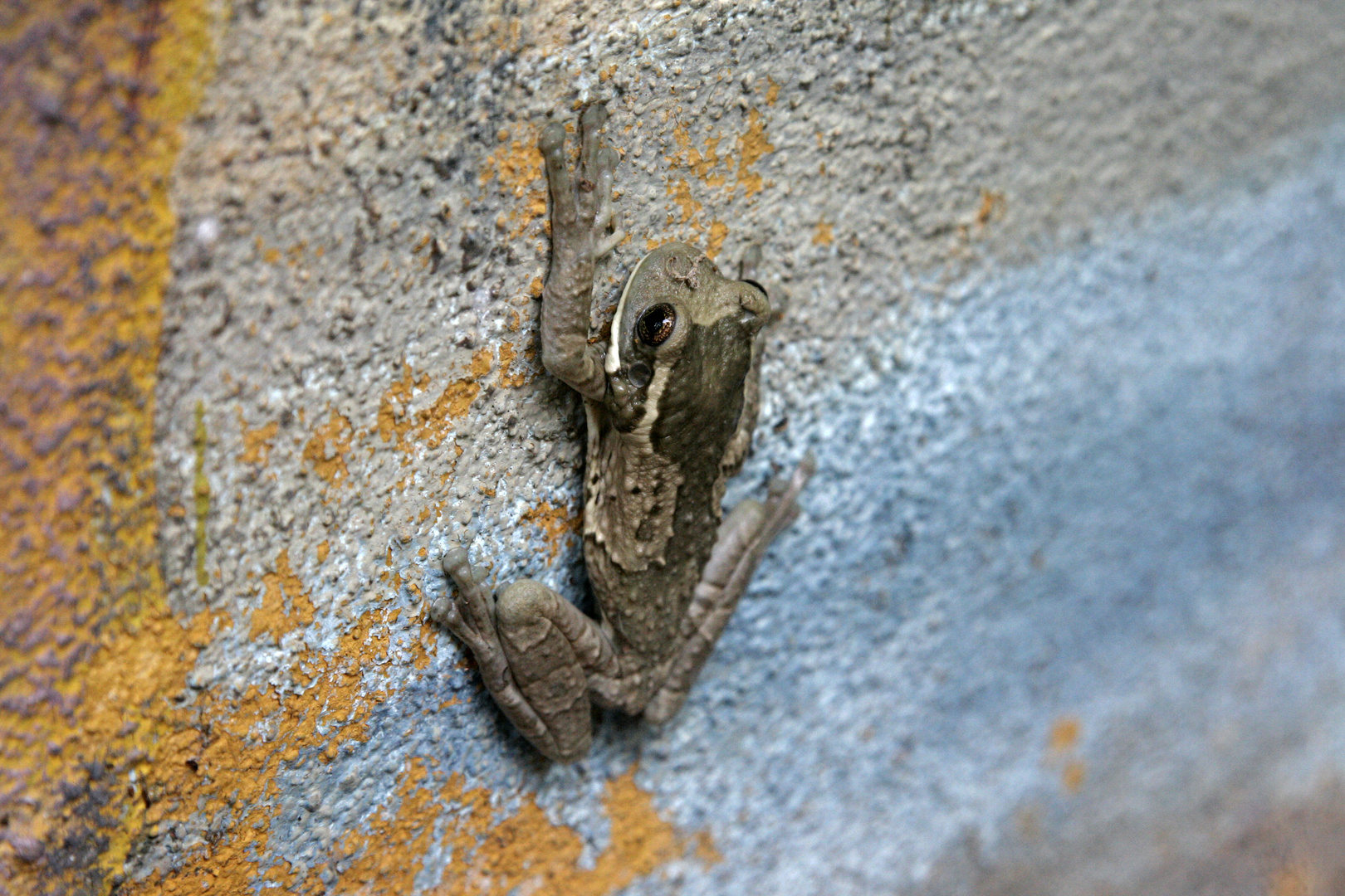 Frog at the wall II