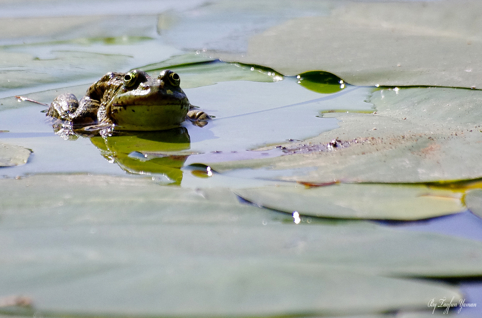 Frog in Golcuk Lake - Bolu