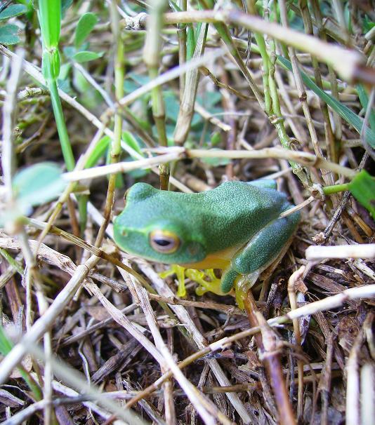Frog in size of a fingernail