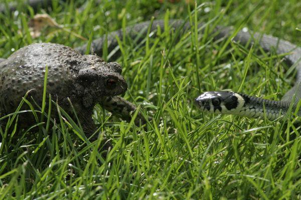 Frog vs Snake