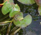 Froggy !