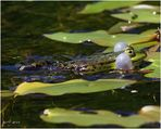 ... Froggy-Day (II) ...