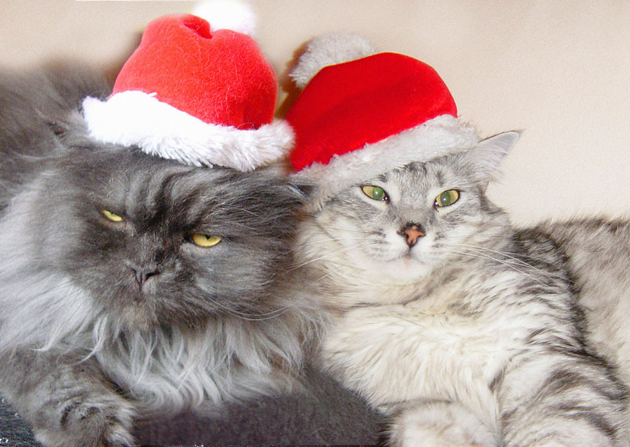 frohe weihnachten foto bild tiere haustiere katzen. Black Bedroom Furniture Sets. Home Design Ideas