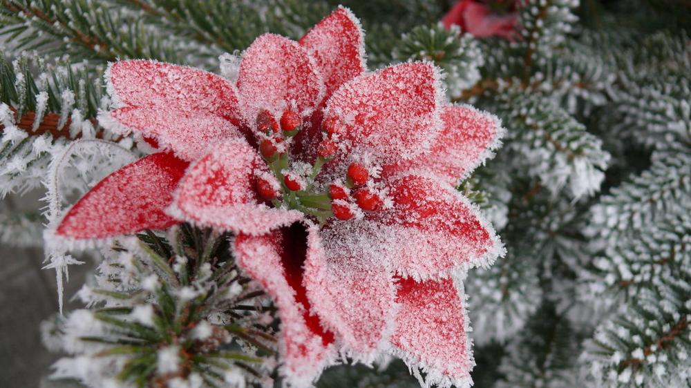 frohe weihnachten merry christmas joyeux noel foto bild pflanzen pilze flechten. Black Bedroom Furniture Sets. Home Design Ideas