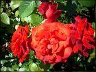 From rosarium