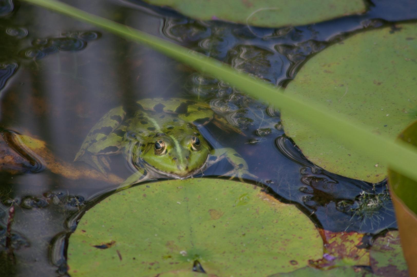 Frosch #3