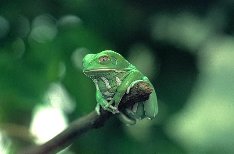 :Frosch