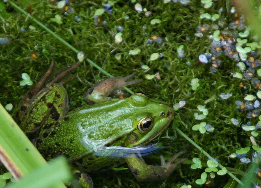 Frosch...