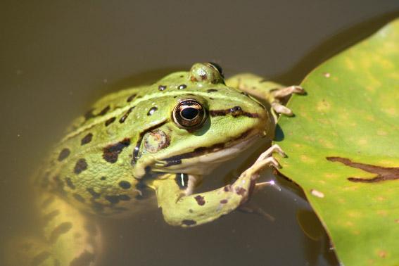 Frosch :-)