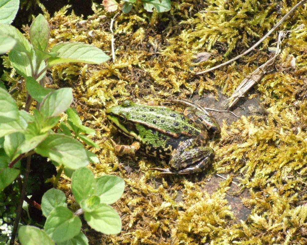 Frosch am Gartenteich