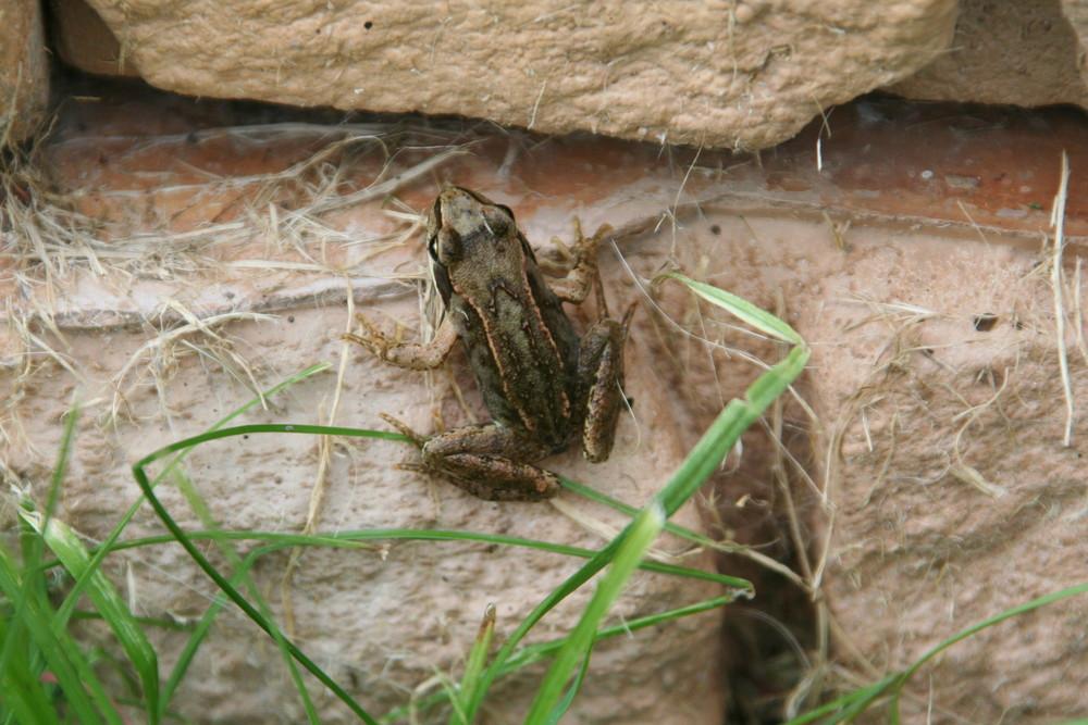 Frosch an der Mauer