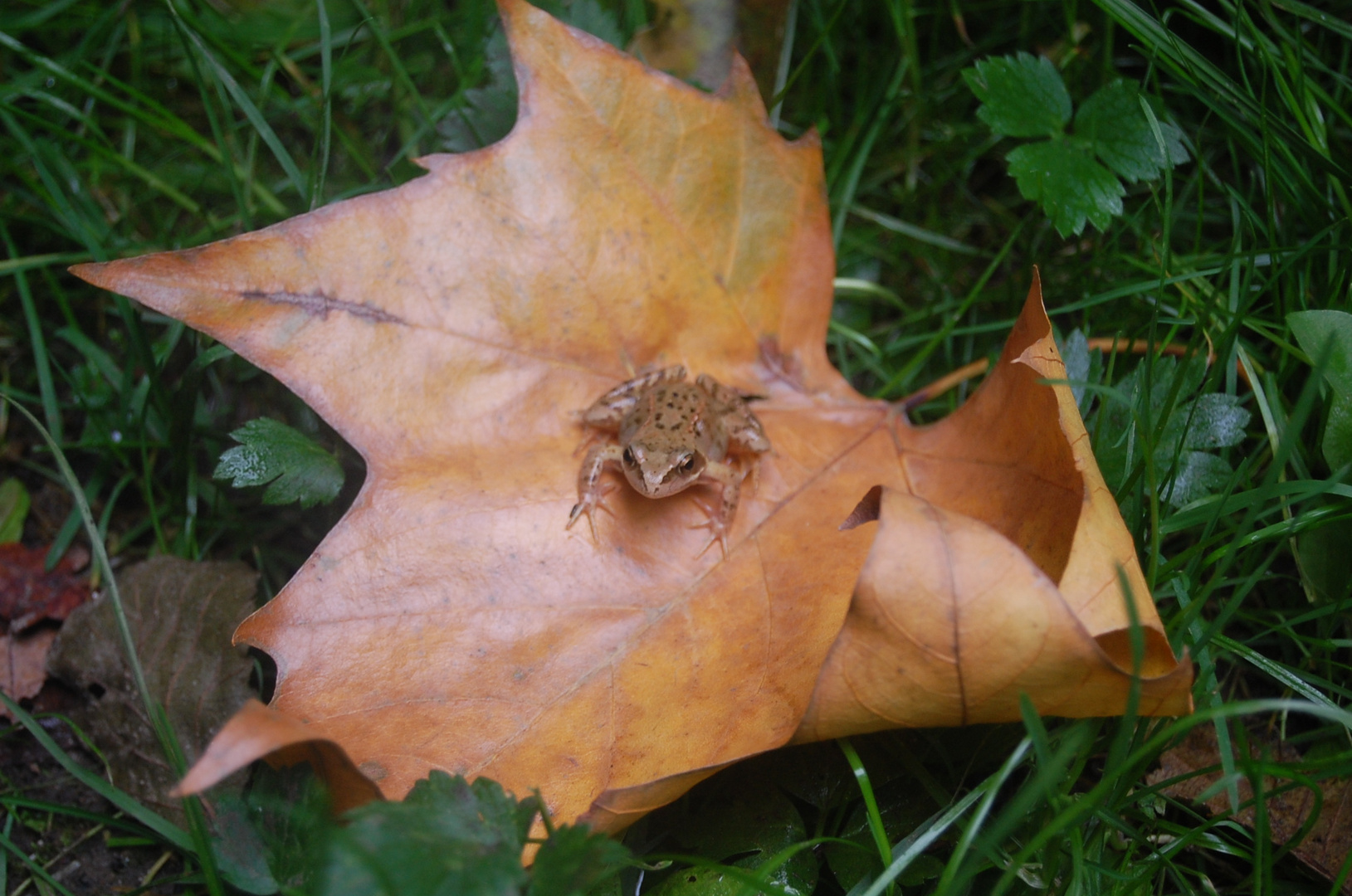 Frosch auf Ahornblatt